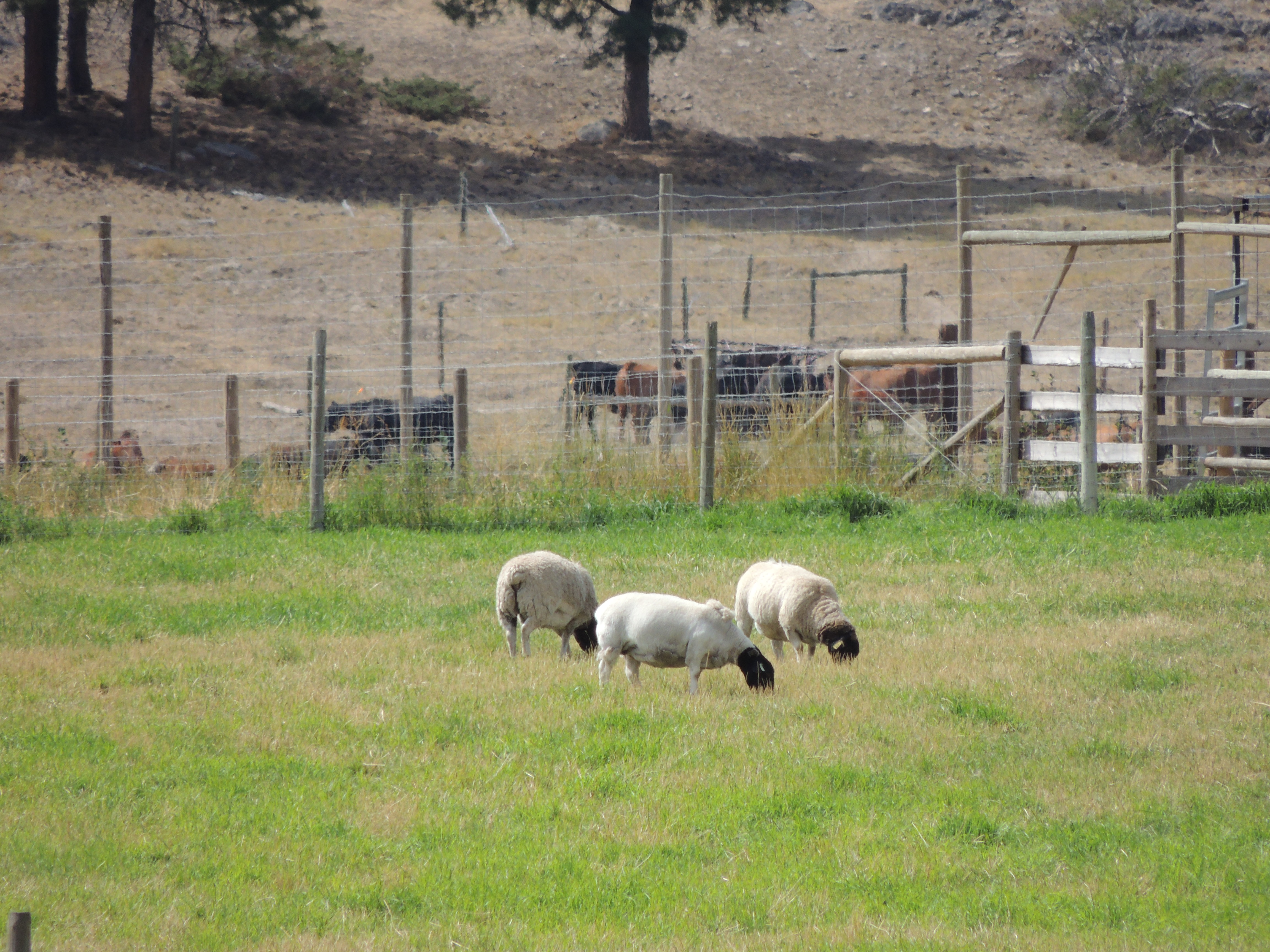 Drought 2015 Sheep in Summerland