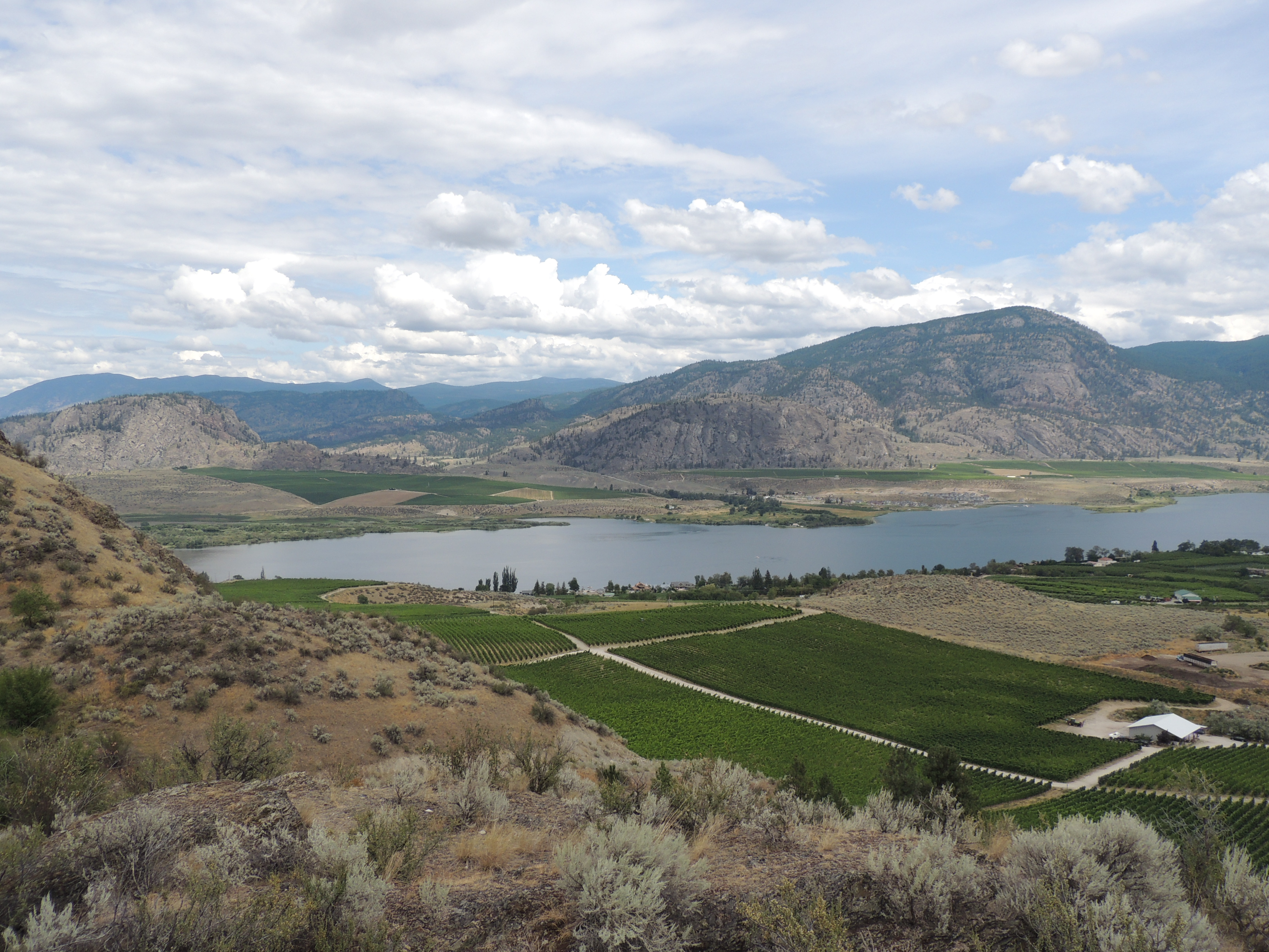 Drought 2015 Osoyoos with irrigated grapes