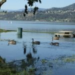 okanagan water management and conservation Flood 2017_4_Geese benefit from more swim space Flood 2017 - Geese benefit from more swim space