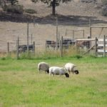 Drought 2015 - Sheep in Summerland